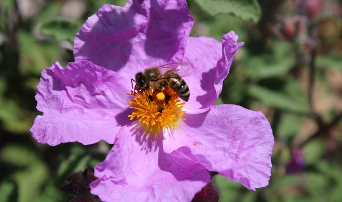 Mersinli arıcılar sezonun ilk polen hasadına başladı