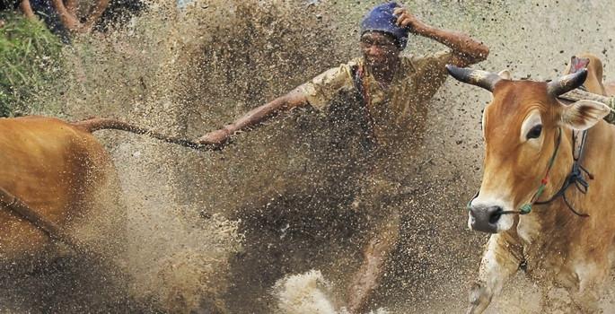 Pacu Jawi boğa yarışları yapıldı
