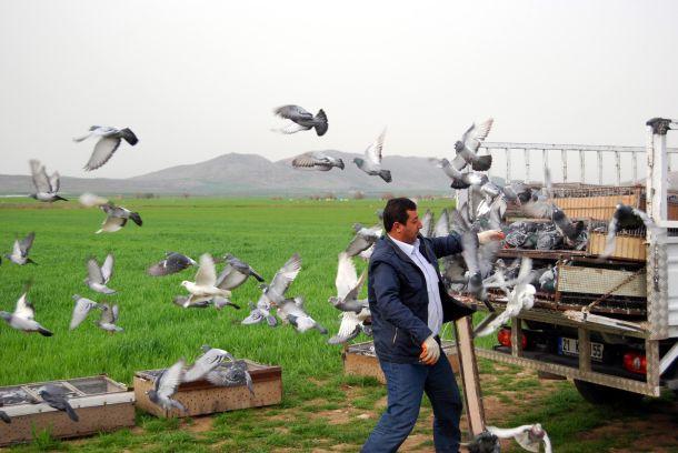 Posta güvercinleri yarışa hazırlanıyor