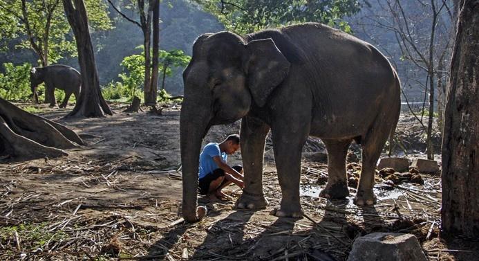 Nesli tükenmekte olan Sumatra filleri