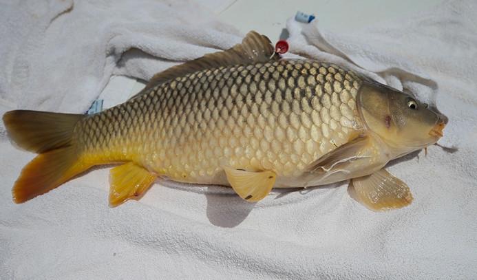 DSİ, her yıl milyonlarca balık yetiştiriyor