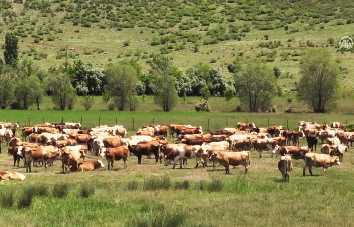 Üretici çaresiz, 'süt inekleri' kesime gidiyor