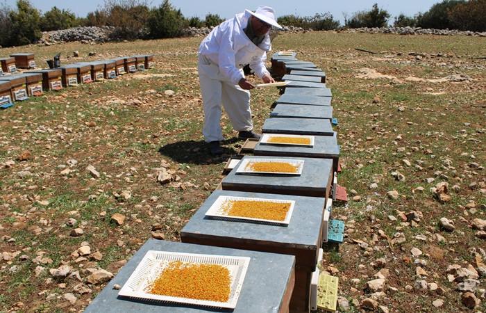 Mersinli arıcılar sezonun ilk polen hasadına başladı - Sayfa 2