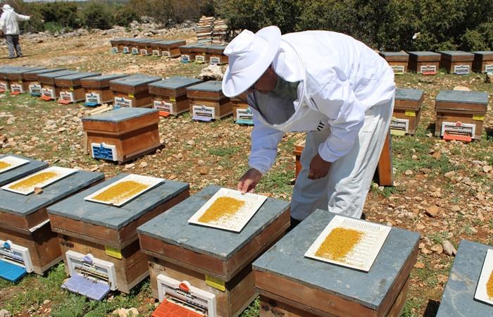 Mersinli arıcılar sezonun ilk polen hasadına başladı - Sayfa 4