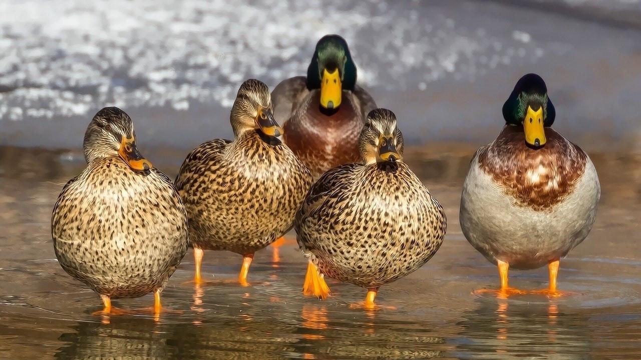 2 milyon ördek kuş gribi nedeniyle itlaf edildi