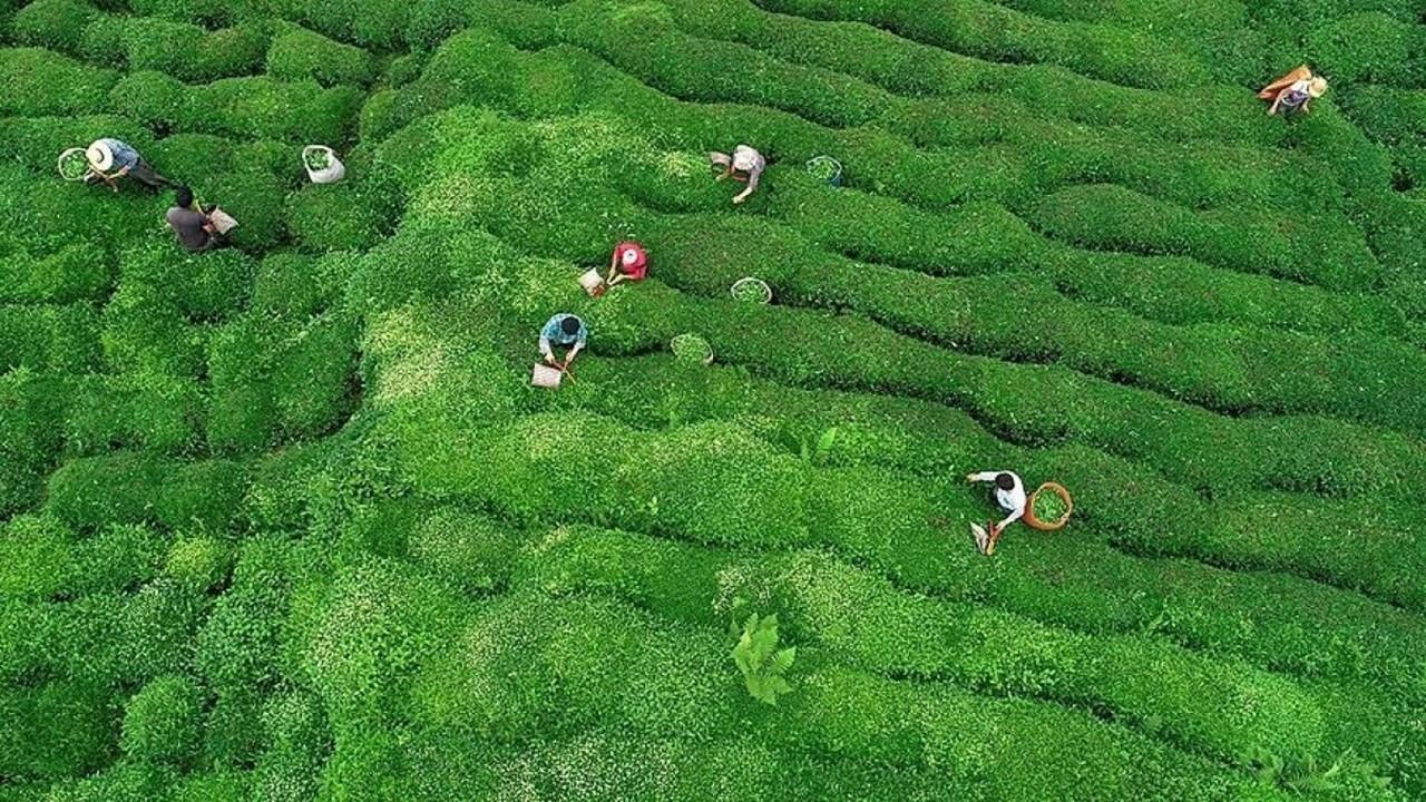 Bakliyat, buğday ve yaş çay alım fiyatları belli oldu