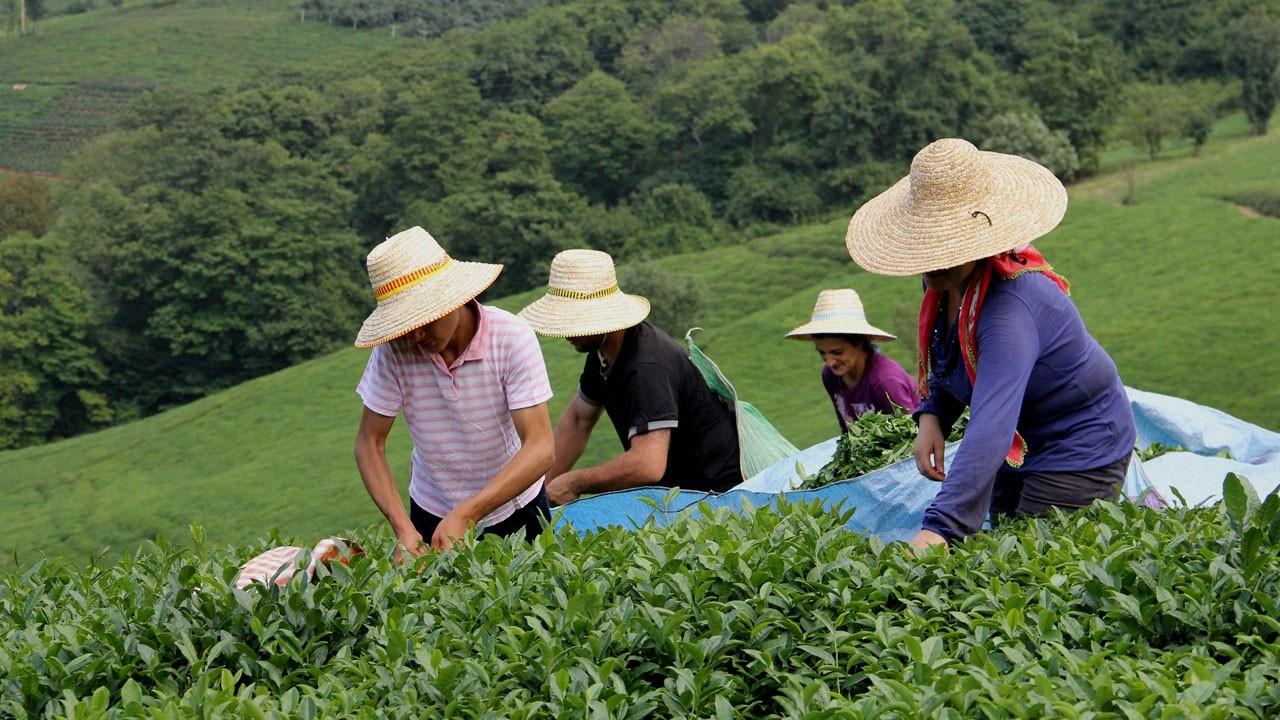 Yaş çay alım kampanyası için pandemi tedbirleri