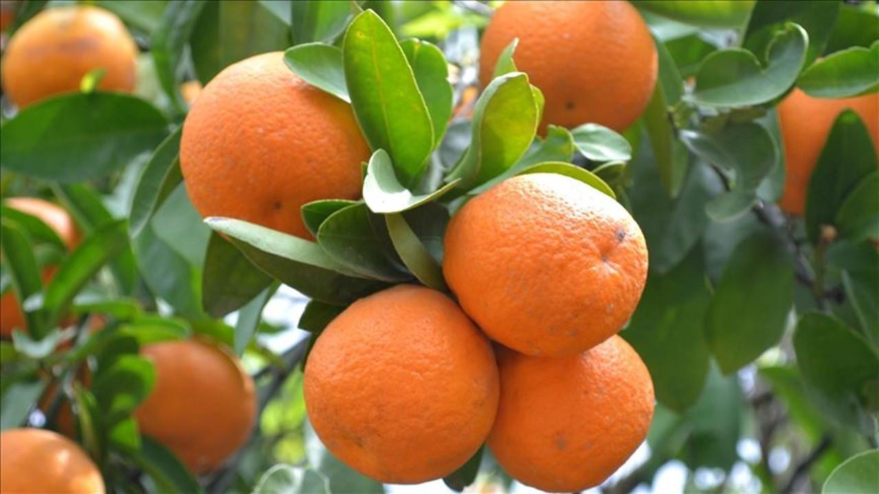 Yılın ilk çeyreğinde 300 milyon dolarlık turunçgil ihraç edildi