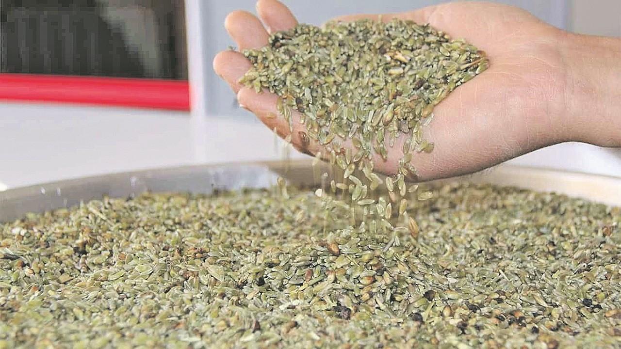 Yerli çiftçiyi Afrin firik buğdayı endişesi sardı