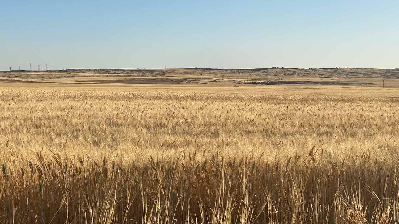 Buğday fiyatları arz endişeleriyle yükseldi