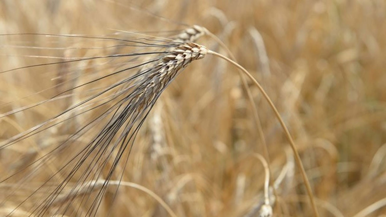 Samsun'da karakılçık buğdayı hasadı yapıldı