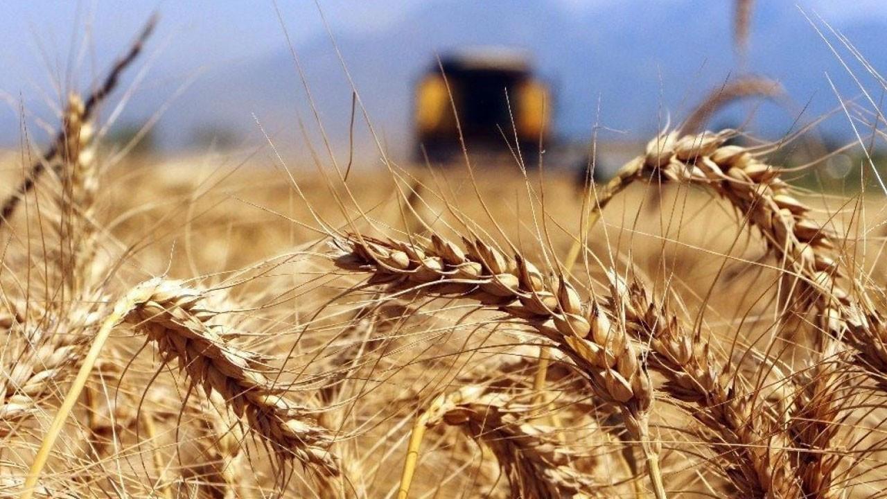Buğday fiyatları zirveye yakın seyrediyor
