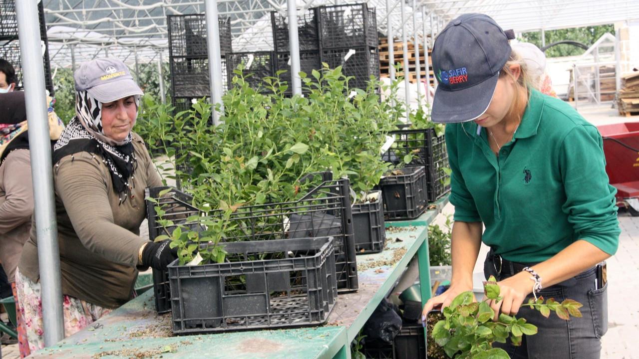 Safir, blueberry hasadını 8 aya çıkaracak