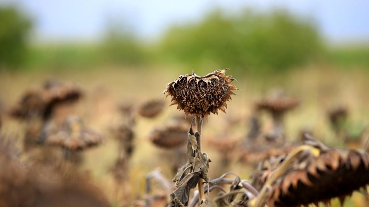 Kuraklık ayçiçeği verimini azalttı