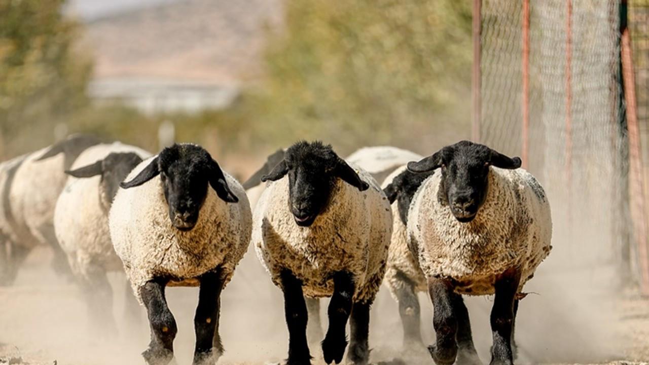 Koyunlara embriyo transferi
