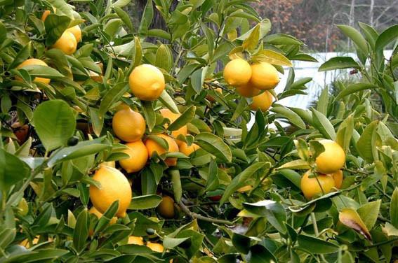 Mersin'de limon hasadı başladı