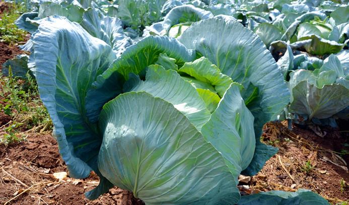 Dev lahanaların hasadına başlandı