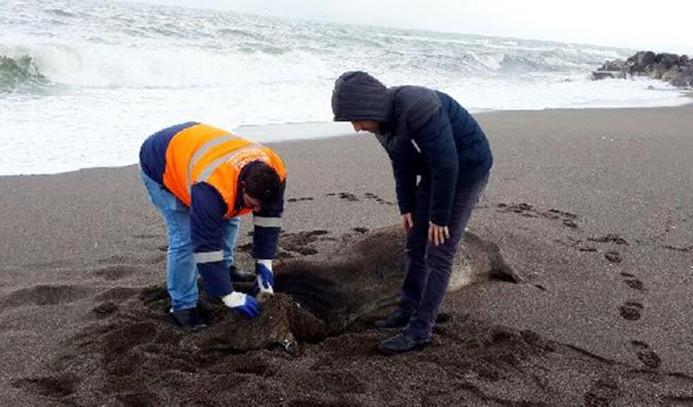 İthal hayvanlar sahile vurdu