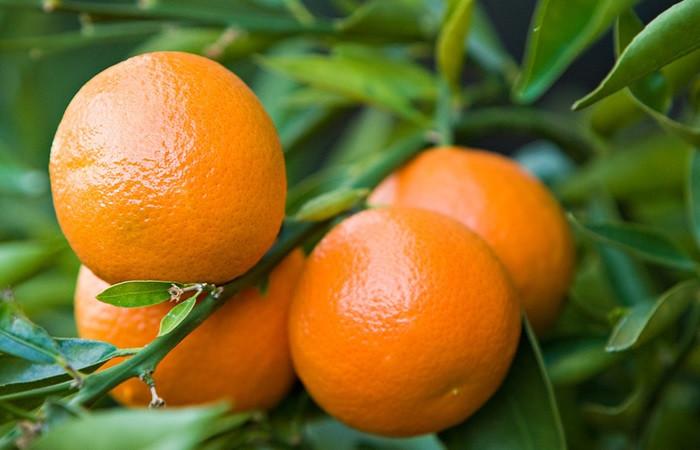 Rize mandalinası tescil yolunda