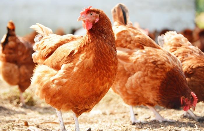 Üç tavukla başladı çiftlik kurdu