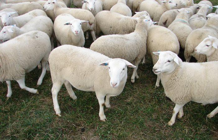 Yerli ırk koyunlarda et verimi artırıldı