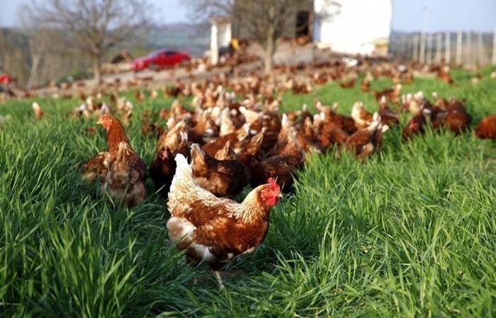 Ev hanımıyken tavuk çiftliği sahibi oldu