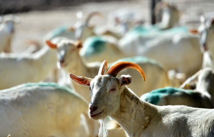 'Mutlu keçiler'e dünya klasikleri dinletiyorlar