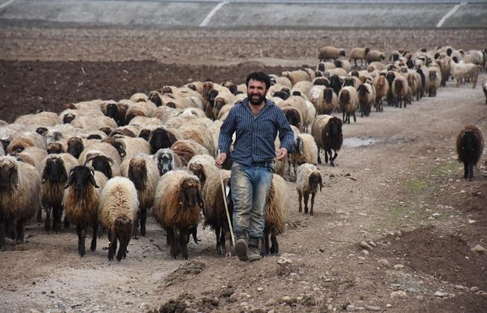 '300 koyun' projesine açıklık geldi