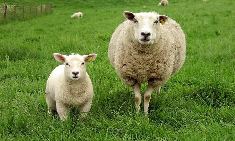 '500 Bin Anaç Koyun' için imzalar atıldı