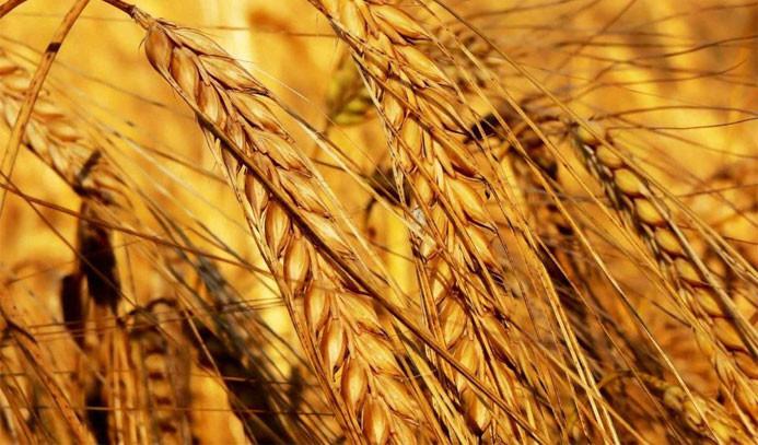 Buğday alım fiyatına yüzde 12 zam