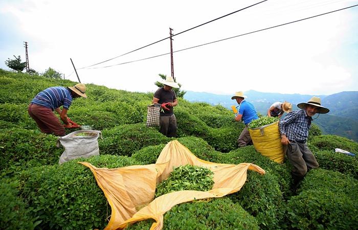 Çay üreticisinin yüzü fiyat artışıyla güldü