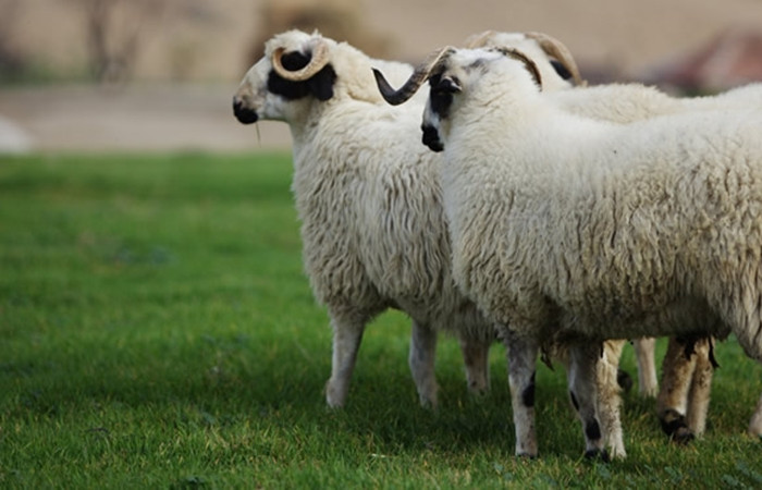 Canlı hayvan ihracatı sıfırlandı
