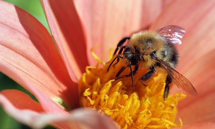 Arılar ıslah edilecek