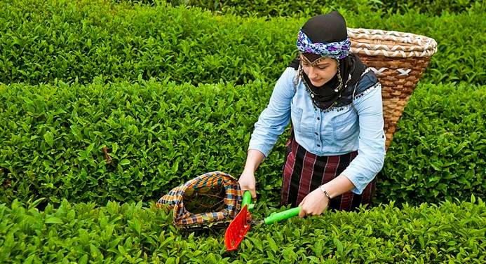 ÇAYKUR, 100 bin tondan fazla yaş çay aldı