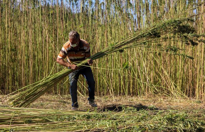 Taşköprü'de kenevir hasadına başlandı
