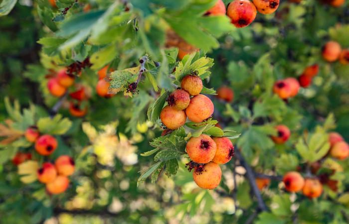 """Dağ meyvesi """"alıç"""" köylülere ek gelir sağlıyor"""