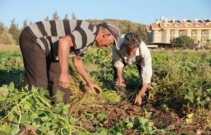 Datça'da mor patates hasadı