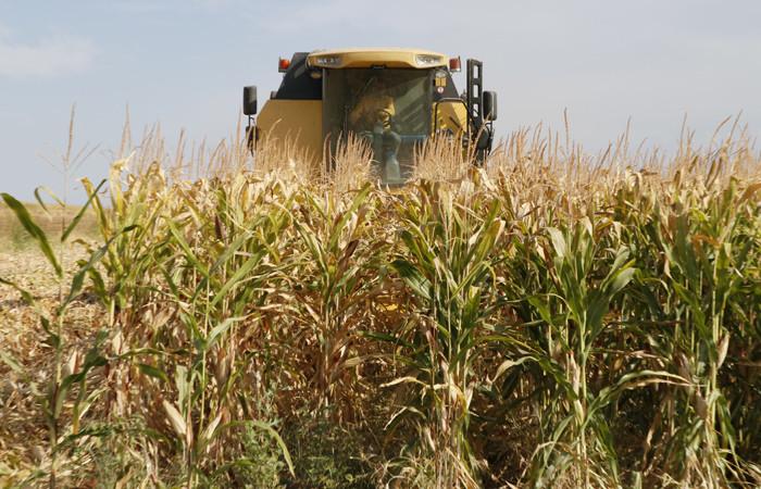 Şanlıurfa'da mısır hasadı bereketli başladı