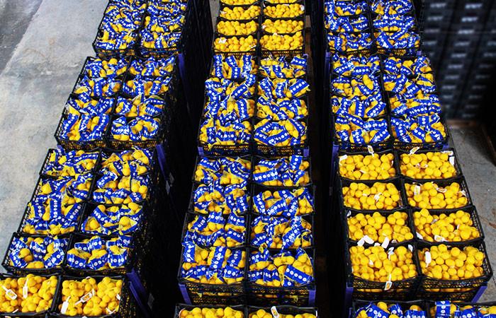 Mersin'den İstanbul'a limon sevkiyatı sürüyor