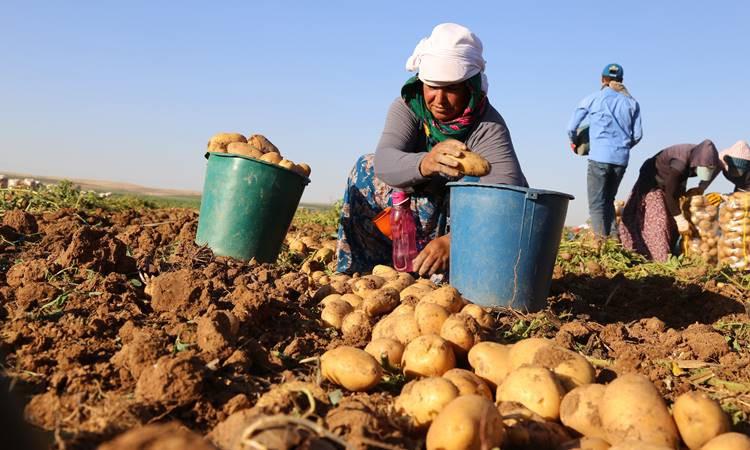 50 bin ton patates ihracatına izin
