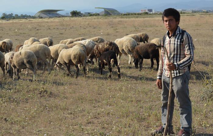 Yerli çoban bulamayan hayvan sahipleri, sorunu göçmenle çözüyor