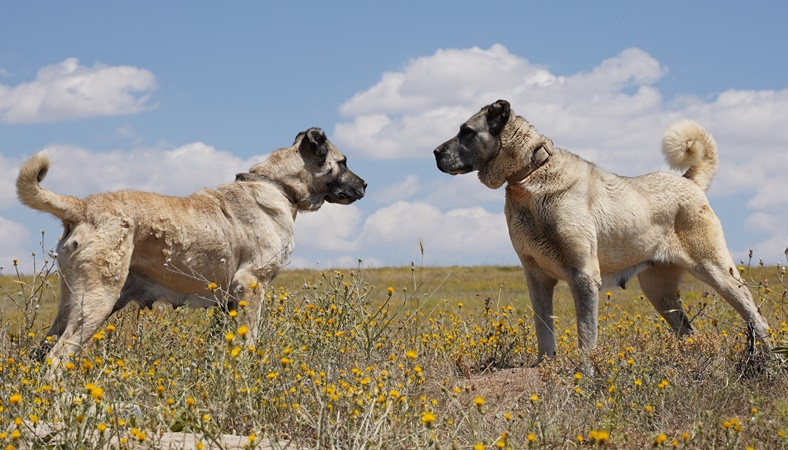 7 milyon TL yatırımla Kangal köpeği yetiştirilecek