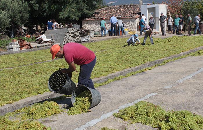 Ege'de kuru üzüm hasadı başladı, şaraplık üzümde sorun yaşanıyor