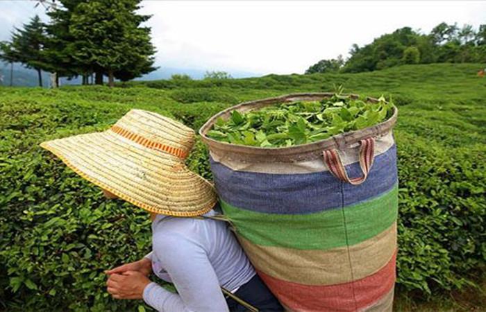 ÇAYKUR, ağustosta aldığı çayın ödemelerine 29 Eylül'de başlayacak